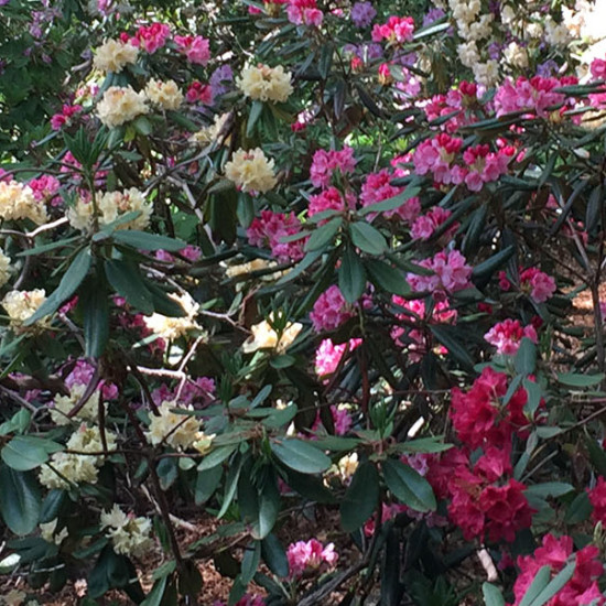 Rhododendrons In The 21st Century