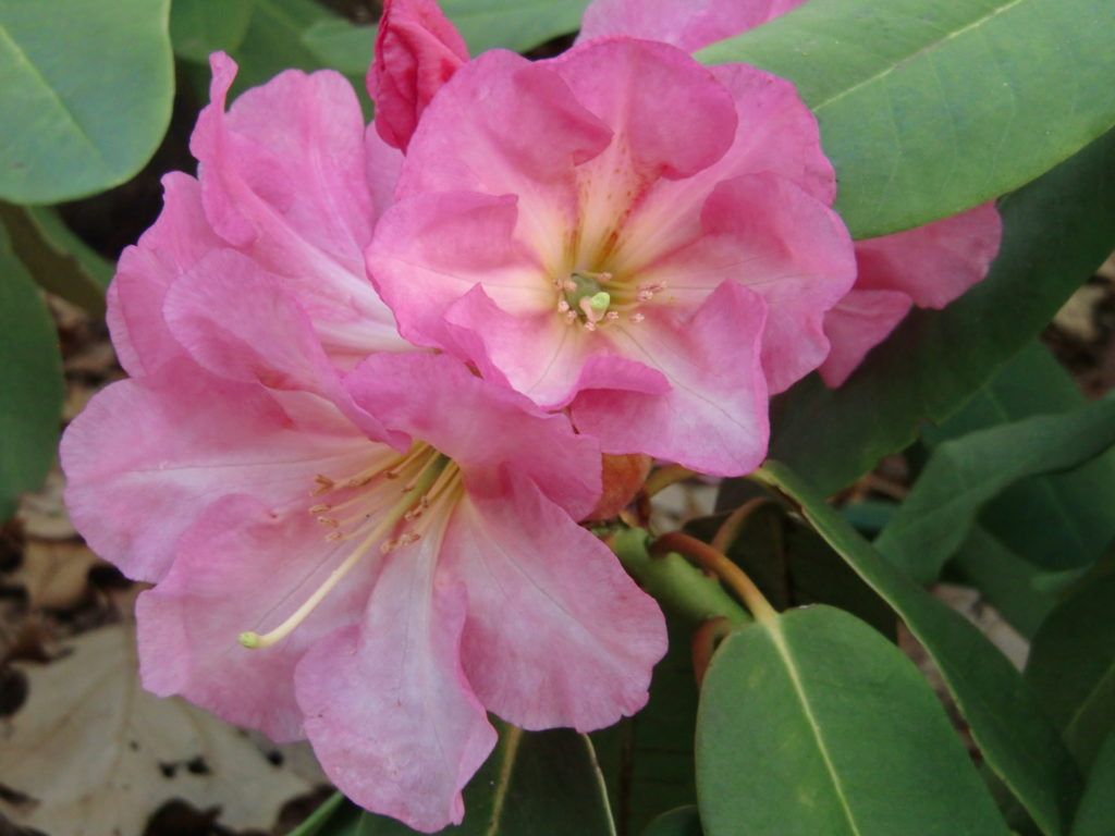 Named Rhodo Hybrids in the Garden – Murcott Garden