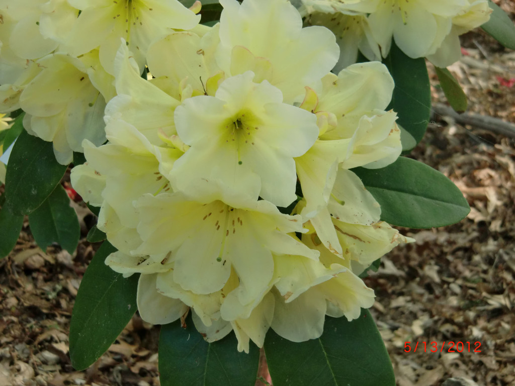 TT261 = 'Apricot Fantasy' x 'Bud's Yellow' x 'Virginia Delp' x TT182