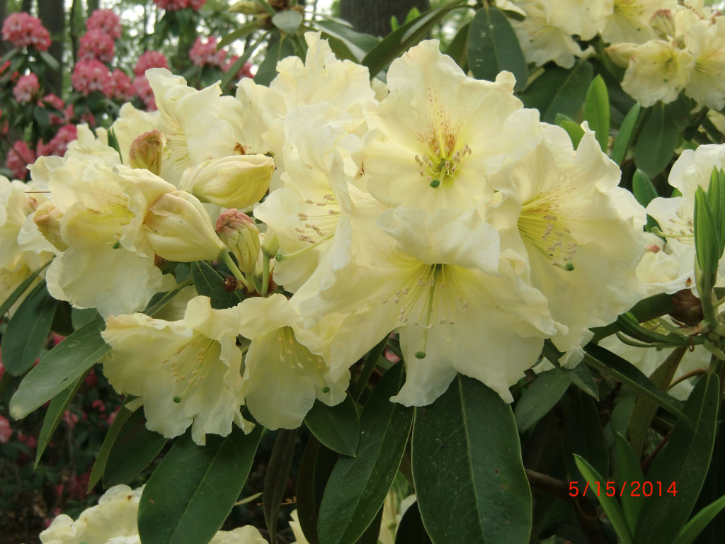 TT268= 'Gate Cream' x 'Martha Phipps'