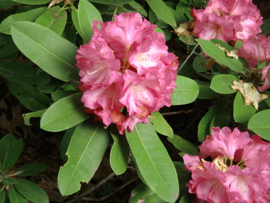 'Acclaim' x 'Martha Phipps'