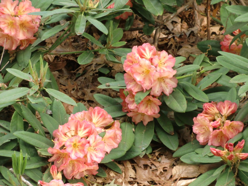 'Glow Light' Hardgrove Plant')