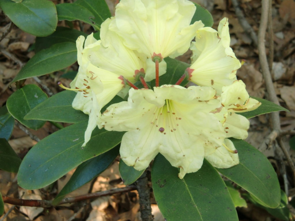 'Golden Star'
