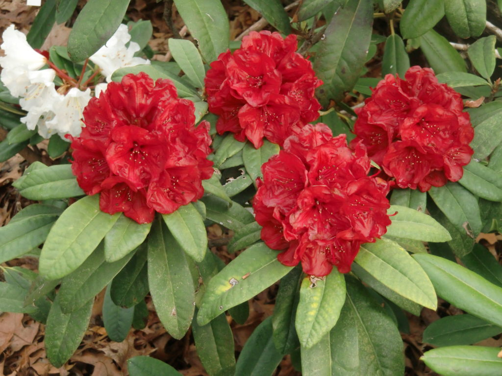 'Red River' x 'Maxine Margaret' George Woodard hybrid
